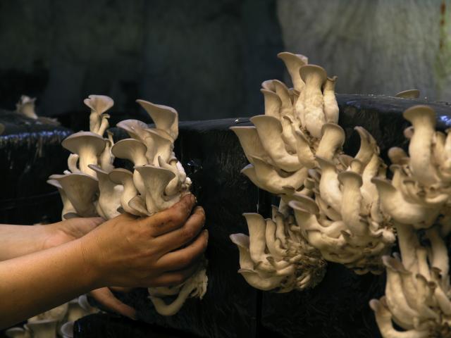 la cave des roches : ville et souterraine et cave champignonnière à Bourré