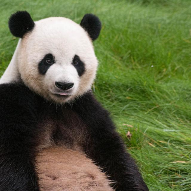 Animal Cute Bear Zoo Mammal Asia 490272 Pxhere.com