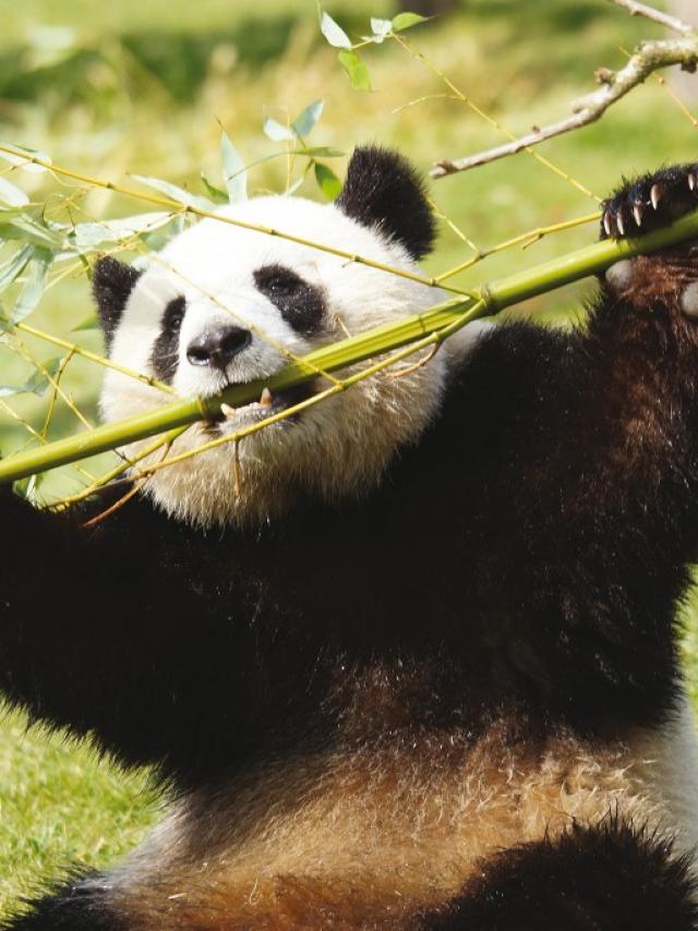 Pandas Zooparc De Beauval