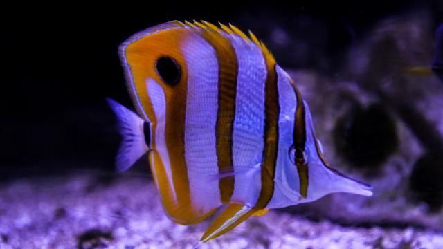 Visite Aquarium Chelmon Ros