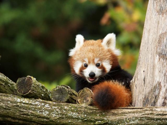 Panda Roux Bebes Zooparc De Beauval