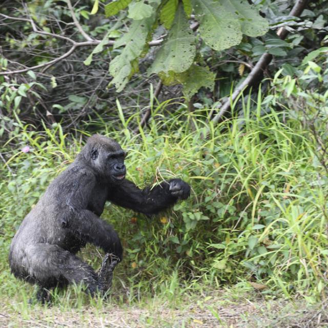 Zoo Beauval Reintroduction Des Femelles Gorilles 2019 Kuimba 6