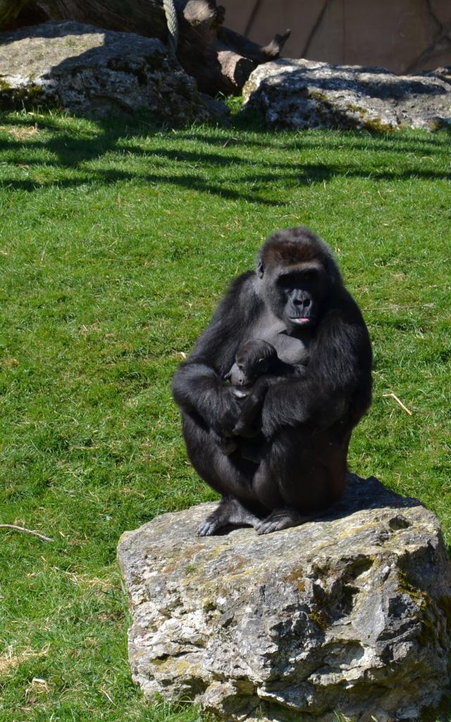 Experience Chimpanzes Beauval