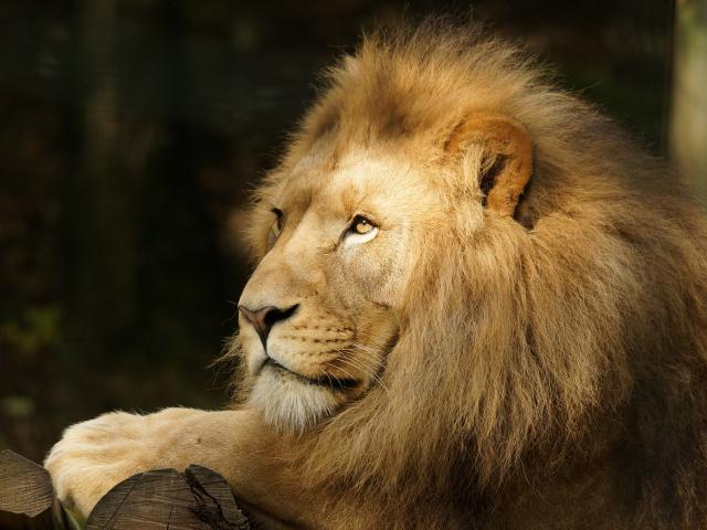 Experience Louise Lion Beauval Visite