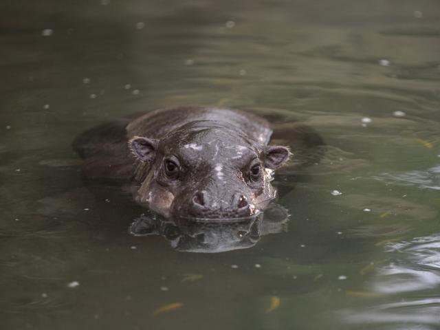 Zoo Beauval Dome Equatorial Hippopotame Pygmee