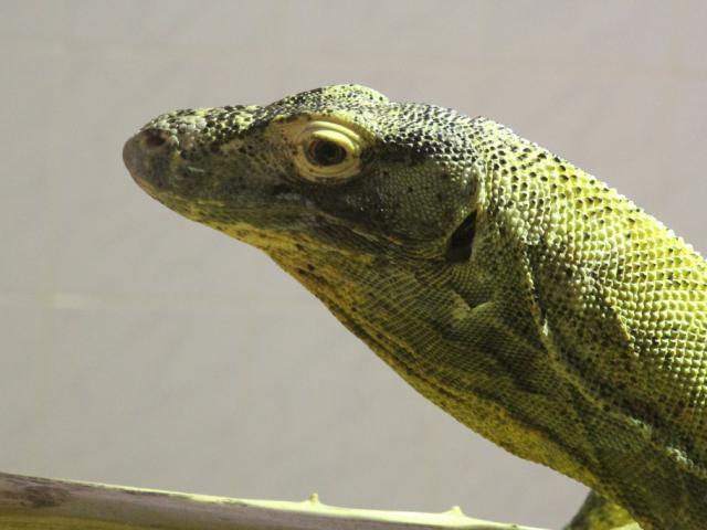 Zoo De Beauval Dome Equatorial Dragon De Komodo